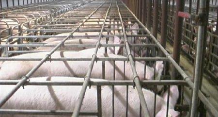 Свинарник на 10 голов своими руками фото