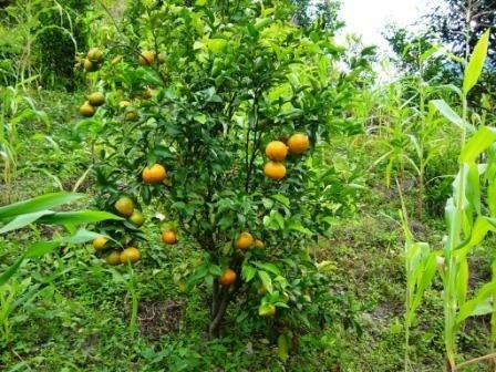 У апельсинового дерева большое будущее.
