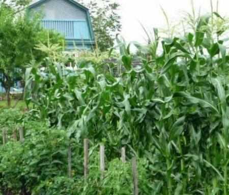 Кукуруза может защитить грядки от ветра