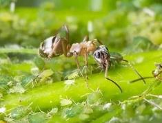 Как избавится от нашествия муравьёв в теплице