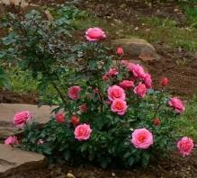 Саженцы чайно-гибридных роз – как выращивать?